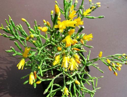Комнатное растение хатиора («кактус танцующих костей»)